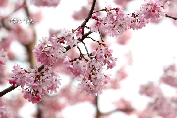 枝垂れ桜04288