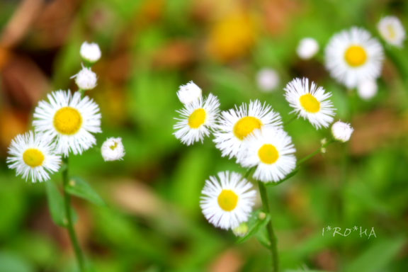 白い花0521