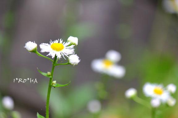 白い花05212