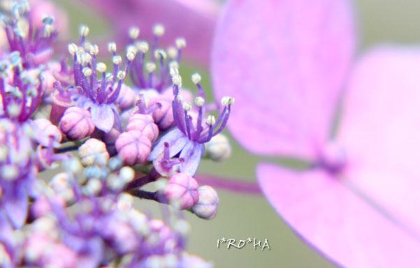 アジサイの花0620