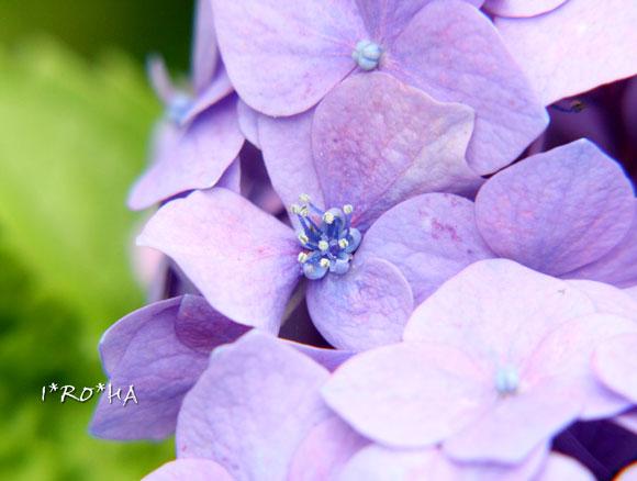 アジサイの花06203