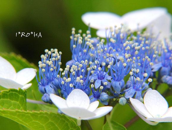 アジサイの花06204