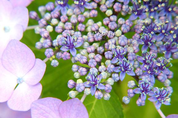 アジサイの花06205