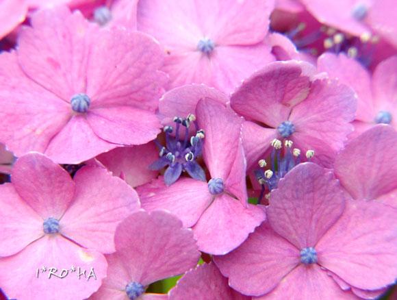 アジサイの花06206