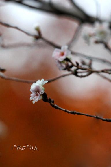 桜とモミジ2
