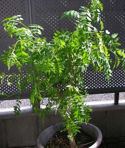 山椒の鉢植え