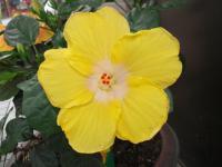2011 7 黄色 ハイビスカス