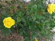 2012.5 rosees 011