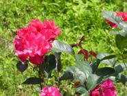 2012.5 strawberryroseessyakuyaku 052