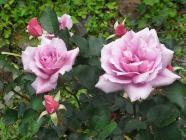 2012.5 rosees 020