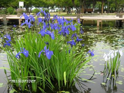 20110505syoubu.jpg