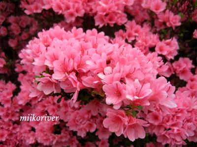 20110505tsutsuji01.jpg