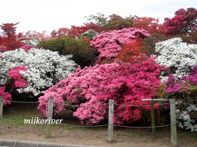 20110505tsutsuji04.jpg
