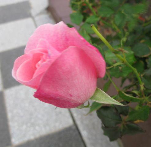 最初に出会ったバラ