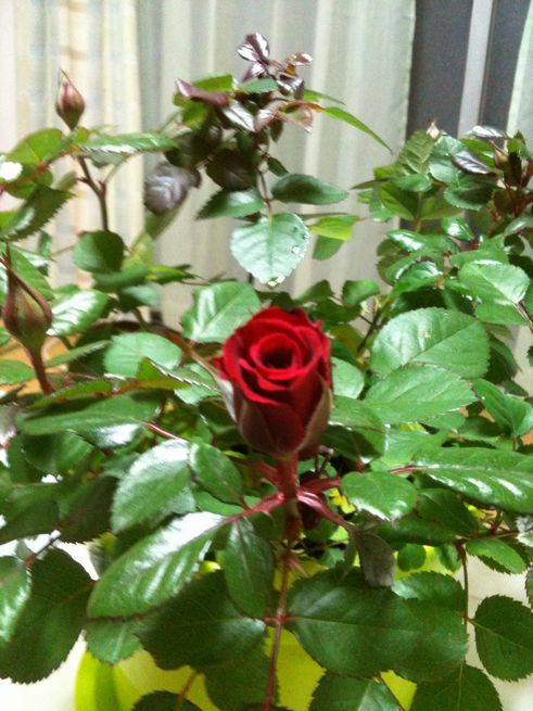 イザベルの咲きかけた蕾