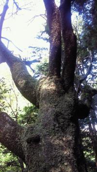 多度の大木