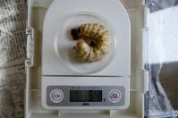川西2011年1番77.5×51.5幼虫