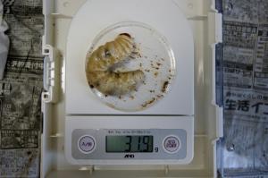 2011川西1番幼虫