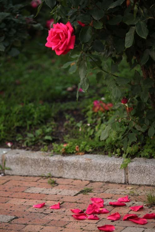 冠山総合公園の薔薇