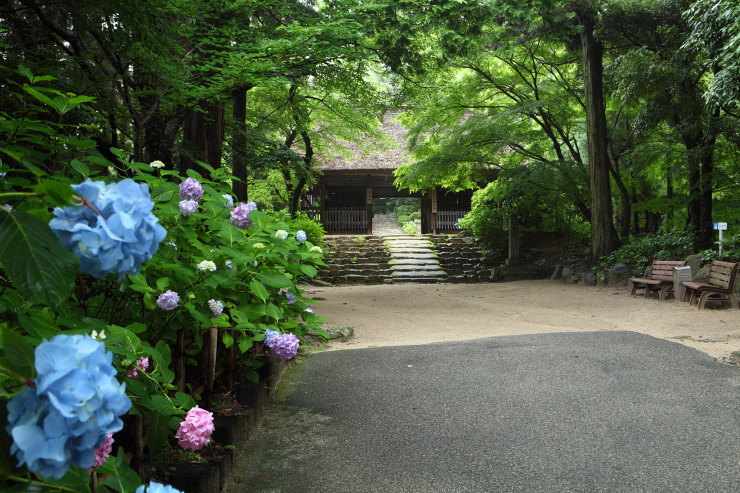 阿弥陀寺のアジサイ