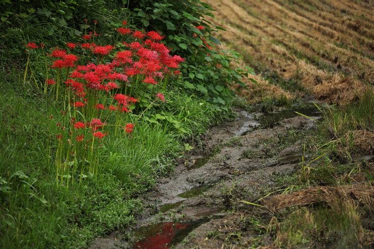 畦の彼岸花