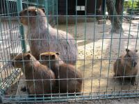 2011.10.26 海の中道海浜公園 ネズミ科のカピバラの3