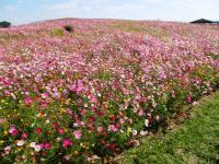 2011.10.26 海の中道海浜公園の花1