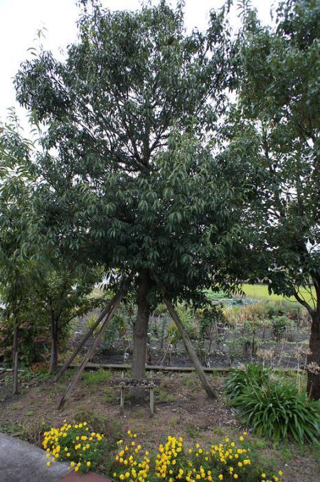 朝のあかねの木