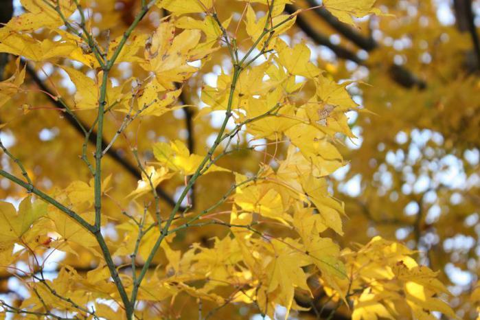 西明寺庭黄色
