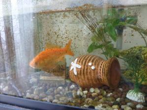 金魚ちゃん2