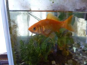 金魚ちゃん