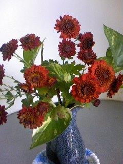 きれいな色の小菊