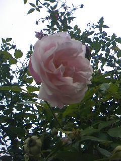 おばあちゃん家のバラ2