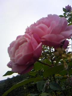 おばあちゃん家のバラ1