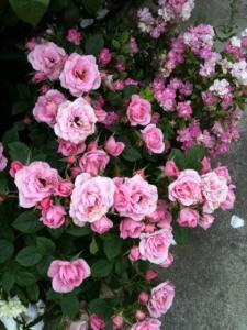 薔薇拡大2