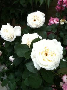 薔薇拡大1