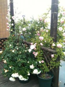薔薇屋上3