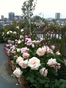 薔薇屋上1