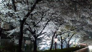 11.4夜桜