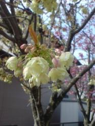 あおい桜2