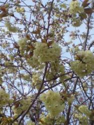 あおい桜1