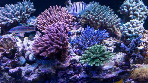 Zeovit水槽のサンゴ