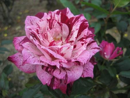 RSKしぼりのバラ1