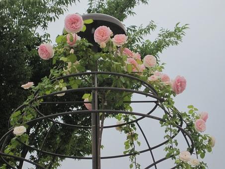 2011福山ばら公園4