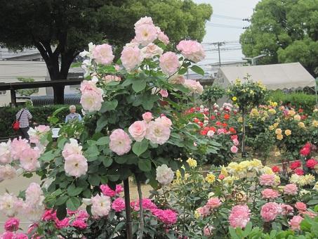 2011福山ばら公園1