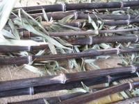 我が家の黒竹