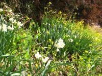水仙と菜の花と・・・・杉