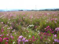豊前のコスモス畑