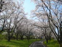 こっちも桜並木