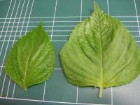 えごまの葉 普通サイズは左の方